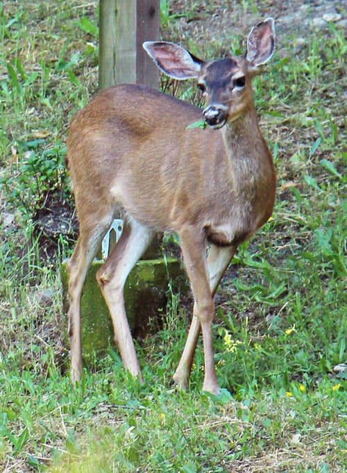 deer1_smc