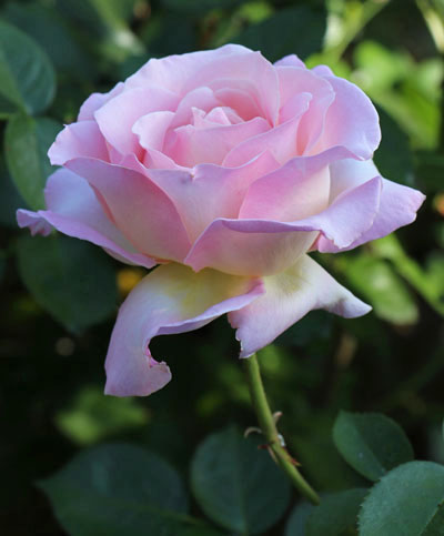 IMG_0224 rose edited smc