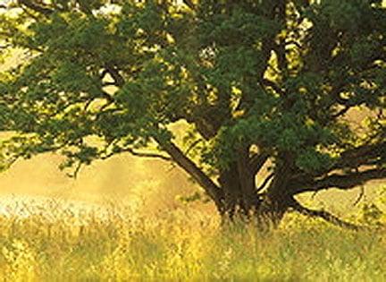 Jourgoldgrass