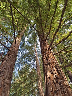 Redwoods_LookingUp_sm