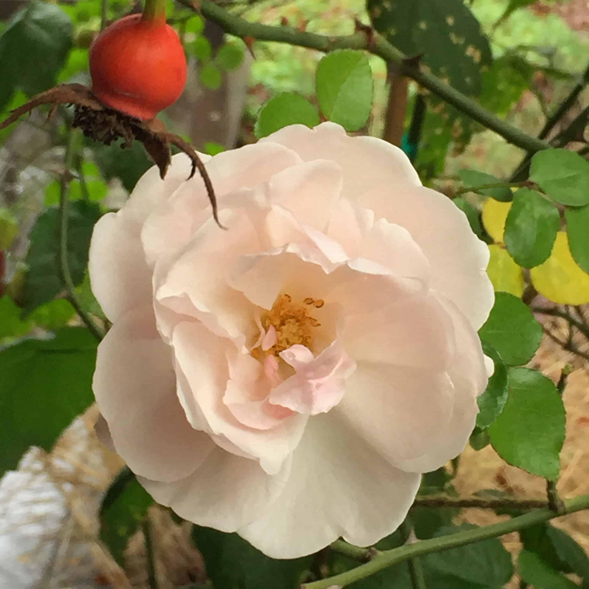 winter_rose_sq